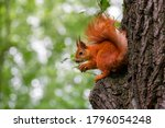 Cute Red Wild Squirrel Eating A ...