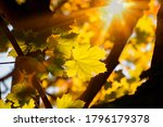 Autumn. Ray And Glare Of The...