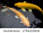 Golden Yellow Fancy Carp Fishes ...