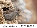 Young Sparrow In Nest Feeder