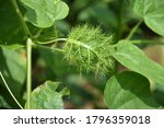 Fruit Of Fetid Passion Flower ...