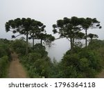 Cluster Of Araucarias Trees...