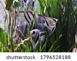 Freshwater Angelfish Are...