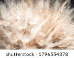 Fluffy Dandelion Flower Head ...
