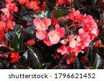 Beautiful Red  Wax Begonia In...