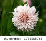 Dahlia Cafe Au Lait Flower...