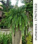 Small photo of Fishbone Fern in Chiang Mai, Thailand.