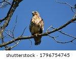 Juvenile Broad Winged Hawk...