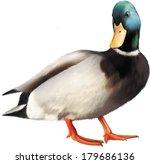Colorful Male Mallard Duck...