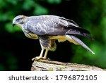 A Young Hawk Of Magnificent...