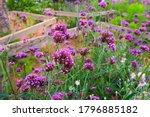 Verbena Blooming In The Garden.