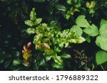 A Holly Bush With Lots Of Gree...