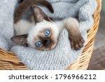 Pet Animal  Cute Siamese Kitten