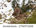 Sparrow Pair Portrait In...