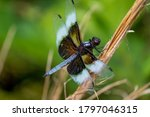A Male Widow Skimmer Perches O...