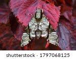The Convolvulus Hawk Moth On...