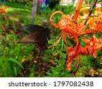 A Mahaon Butterfly On A Lily...