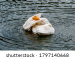 Duck Cleaning Itself In The...