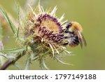 Bumblebee. The Bumblebee  Sits...