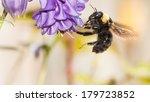 Columbine Flower  Aquilegia ...