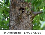 Small photo of The Eurasian torticollis bird on a tree trunk near the hollow.