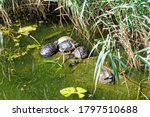Waterfowl Turtles Gather On A...