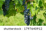 A Vine With Ripe Red Grapes...