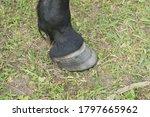 Small photo of Horse leg with hoof. Skin of chestnut horse. Animal hoof closeup. Grass and black hoof.