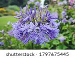 Blue Agapanthus 'northern Star' ...