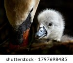 A Very Cute Baby Swan Nestled...