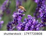 Macro Of A Honey Bee  Apis...