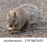 Squirrel Carrying Peanuts In...