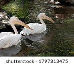 Closeup Two Great White Pelican ...