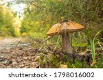Birch Bolete Mushroom In In Th...