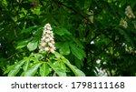 Soft Close Up Of Horse Chestnut ...