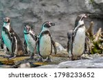 South American Penguins At The...