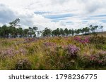Heather And Gorse Of The Breton ...