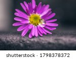 Close Up Purple Daisy With...