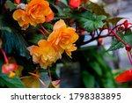 Big Orange Flowers Of Begonia...