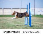 Shetland Sheepdog Jumps Over...