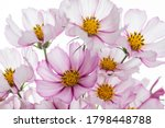 Pink And White Cosmos Flower On ...
