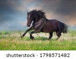 Frisian Horse Run Gallop On...