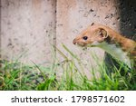 Closeup Of The Least Weasel ...