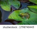 Frog Rana Ridibunda ...