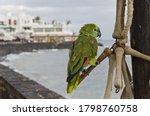 A Closeup Of A Budgerigar Parrot