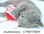 Cute Sleeping British Shorthair ...