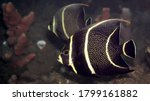 Intermediate French Angelfish ...