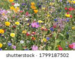 Beautiful Colorful Meadow Of...