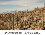Постер, плакат: Saguaro cacti growing on