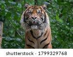 Close Up Of A Male Sumatran...